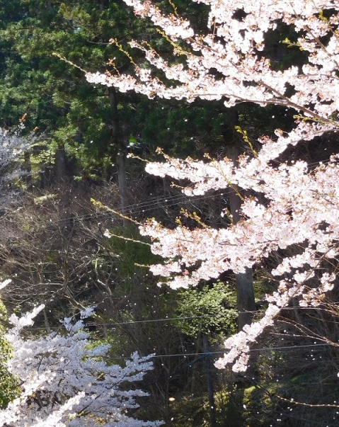 Sakurafubuki2019413a