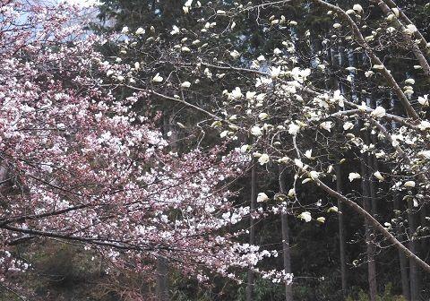 Sakurakobusi2019331
