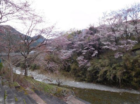 Sakurataigan201941migoro