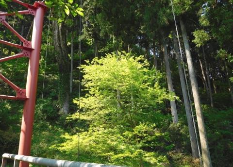Wakaba2019515momoji