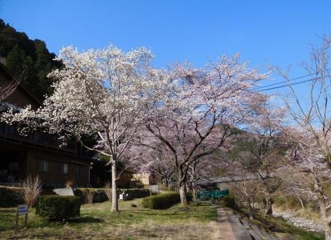Kobusisakura2021323a