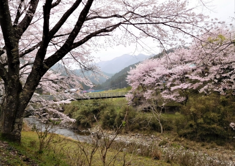 Kousa2021330sakura
