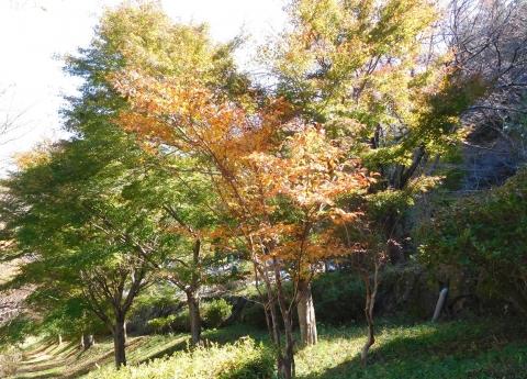 Koyo20191113natutubaki
