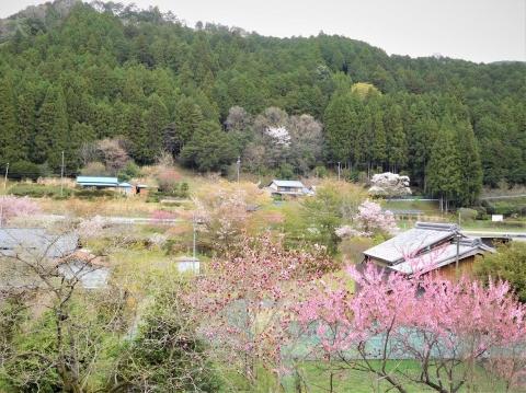 Momosakura202145noguchi