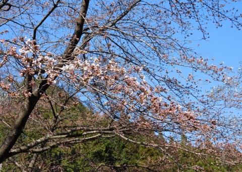 Sakura2020325kaikachu