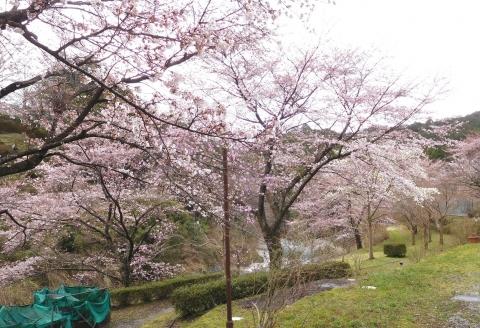 Sakura2020329kobusi