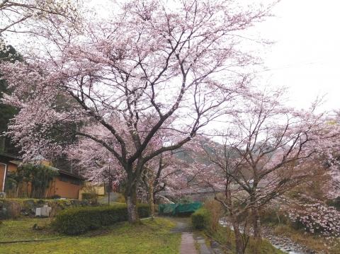 Sakura2020330mae2