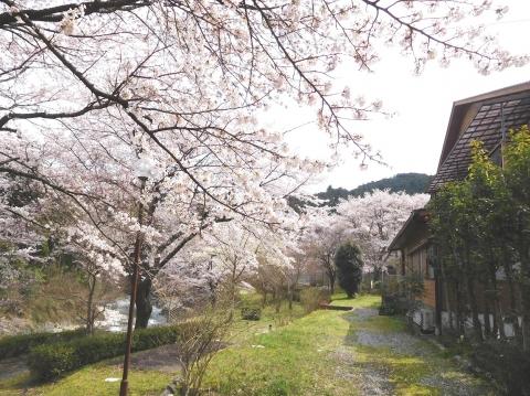 Sakura202043honkan
