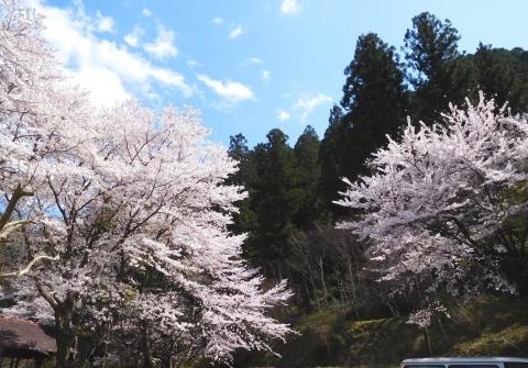 Sakura202045chushajo