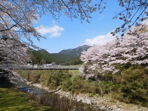 Sakura202045hasikawa
