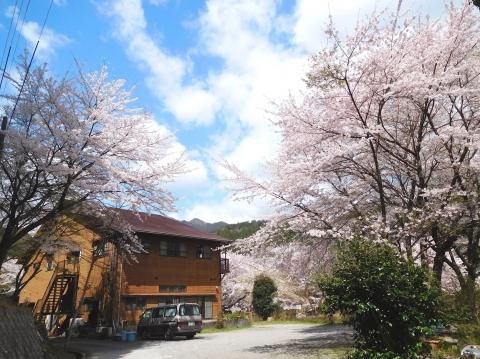 Sakura202045honkanhigasi