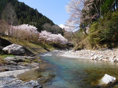 Sakura202045kawa