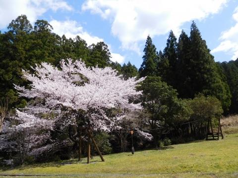 Sakura202045tazanrope