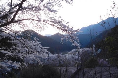 Sakura202047yunisizora