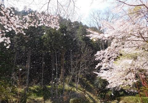 Sakura202049hanafubuki