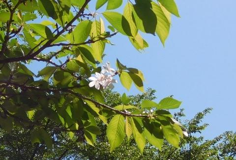 Sakura202057osozaki
