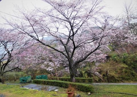 Sakura2021321honkanmae