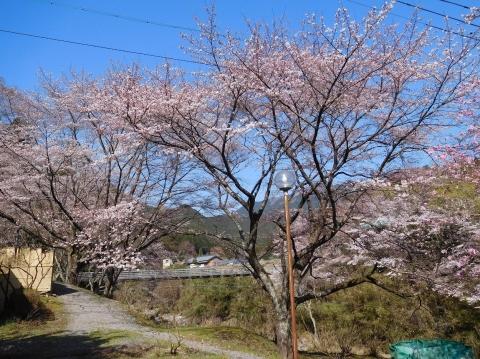 Sakura2021323maefuroyoko
