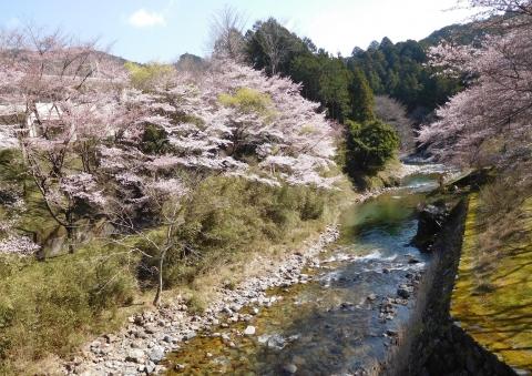 Sakura2021323taiganhasiyori