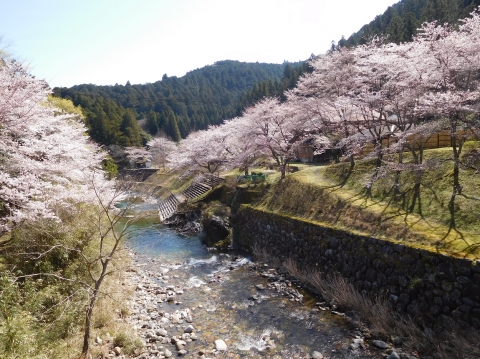 Sakura2021324hasiyori