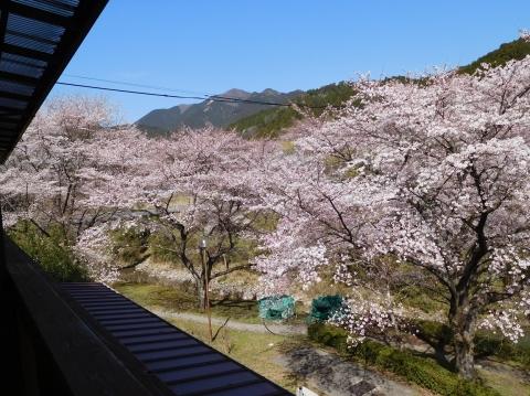 Sakura2021324nikaiyori1