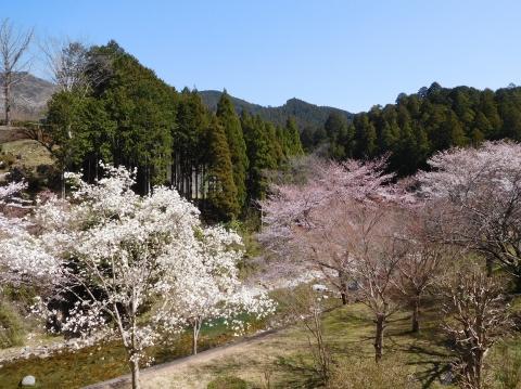 Sakura2021324nikaiyori2