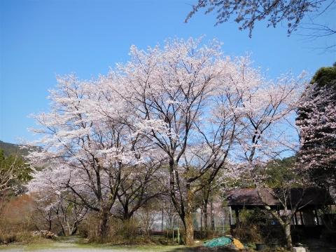 Sakura2021326chushajou