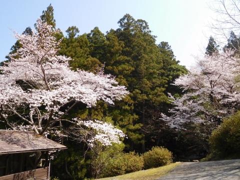 Sakura2021326hazedani