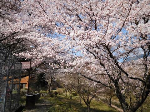 Sakura2021326honkan
