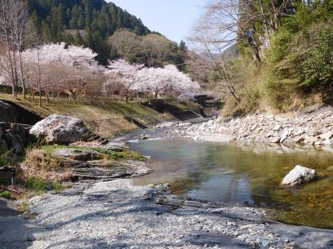 Sakura2021326karyuugawa