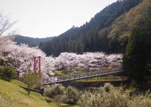 Sakura2021327hasimukouyori