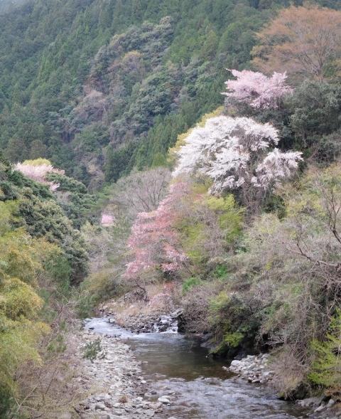 Sakura202145hasiyoiriue
