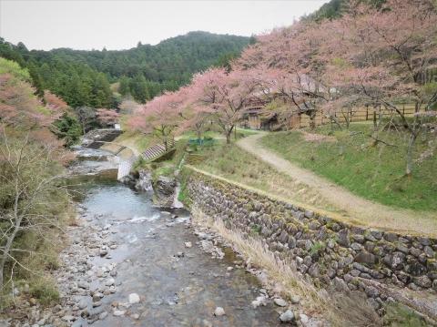 Sakura202145hasiyori