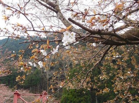 Sakurabesshu2020327hasi