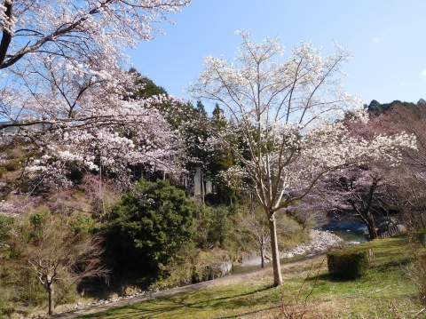 Sakurakobusi2021323mae1