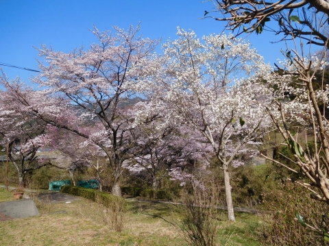 Sakurakobusi2021323mae2