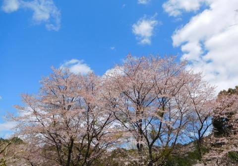 Sakuraowari2020410aozora