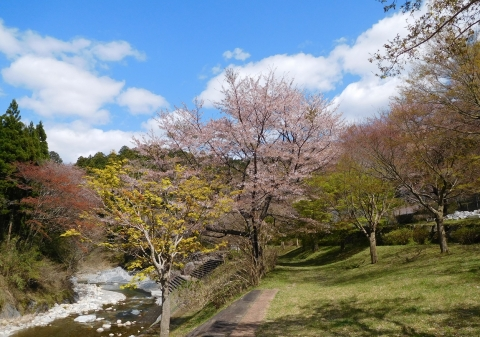 Sakurasinryoku2020410kawa