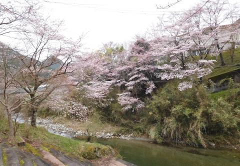 Sakurataigan2020328migoro