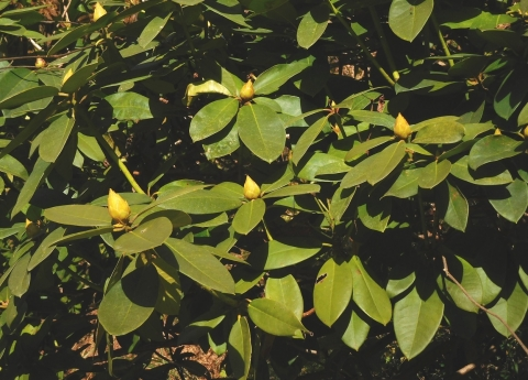 Shakunage20191213tubomi