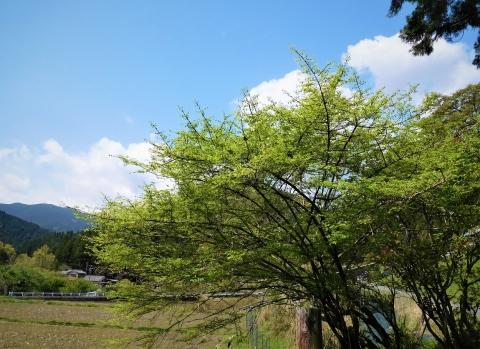 Wakaba2021418chiisanaha