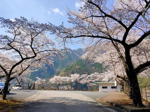 Watanabesakumasakura2
