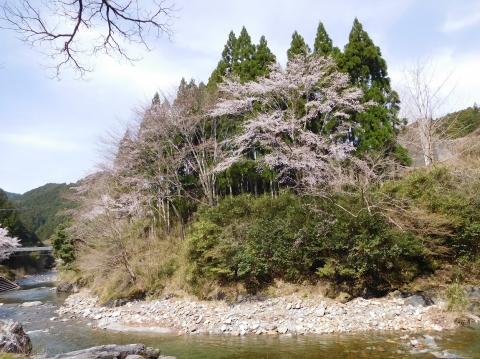 Yamazakura2021329taigan